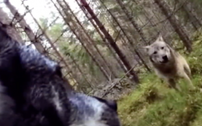 Man Placed GoPro On His Dog But When He Watches The Video He Sees a Pack Of Wolves Aggressively Approach His Pup