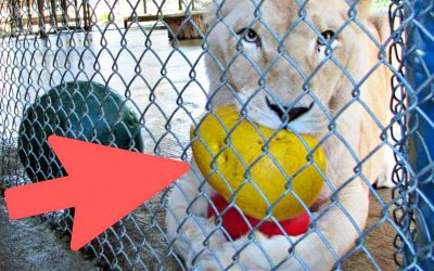 Very Depressed and Unhappy Lioness Has The Most Amazing Reaction When She Realizes Who Her New Neighbor Is!