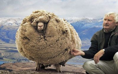 6 Years Ago a Sheep Escaped and Grew 60lbs of Wool. They Were Stunned But Wait Til' You See Him Now!
