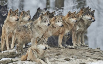 What Rank in a Wolf Pack Would You Be?