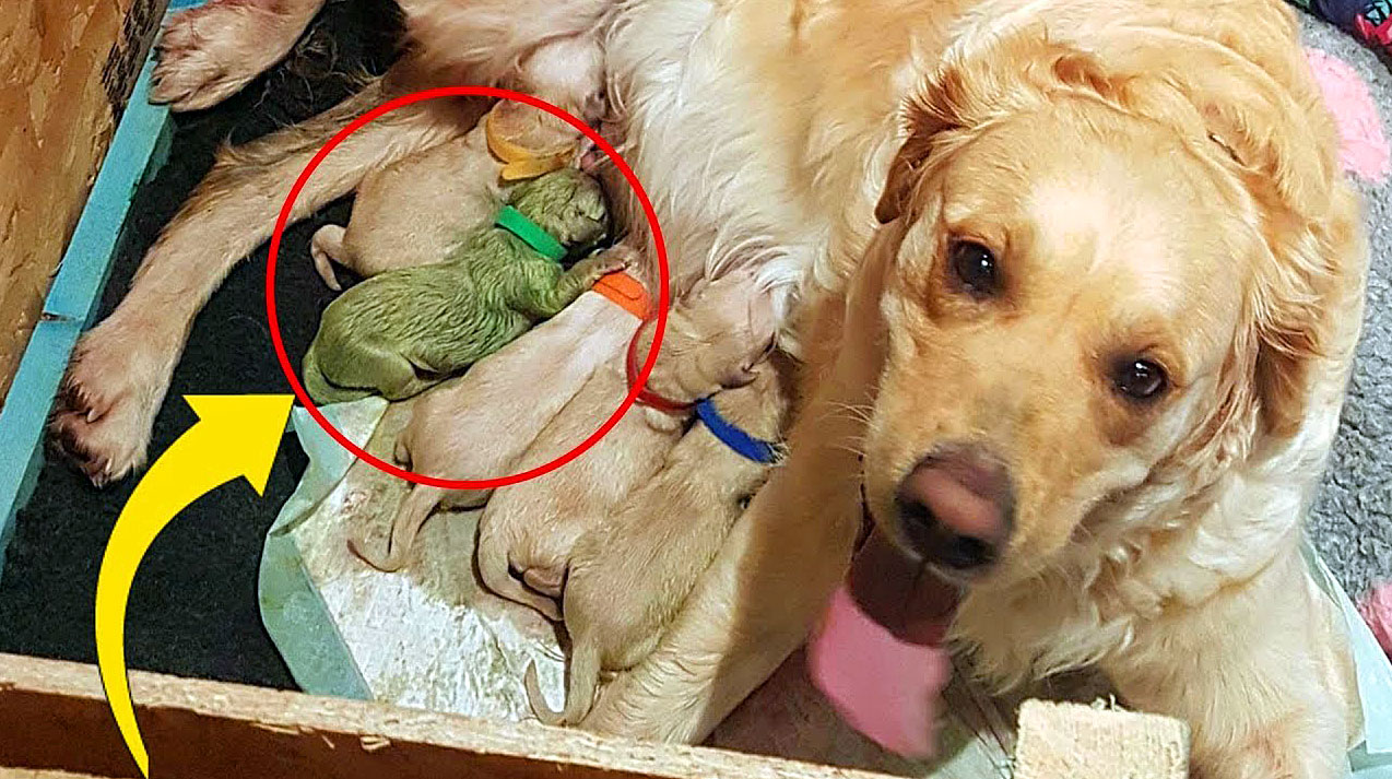 Golden Retriever Mom Gives Birth To A Huge Litter But 1 Puppy Is So Rare That There Have Only Been 3 Ever Recorded