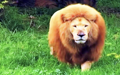 Zookeeper Throws Soccer Ball At This Giant Bored Lion. He Proceeds To Show Everyone His Skills.