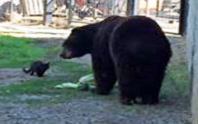 Watch As Brave Cat Sneaks Into Bears Enclosure At The Zoo When He Smells The Bear's Food. But Then They Become Best Friends Instead of Enemies.