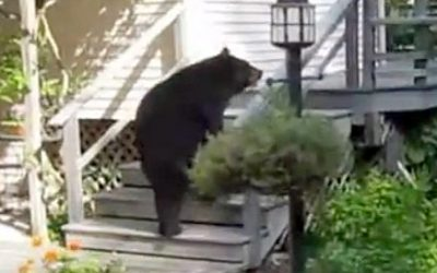Husband Films A Bear In His Yard. But Then He Sends Out His Wife The Intimidator To Get It To Leave.