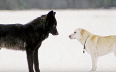 Watch The Moment When This Pet Dog Is Approached By a Wild Wolf