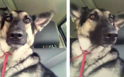 When This Dog Hears Her Favorite Song She Proceeds To Do The Most Hysterical Dance Moves.