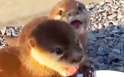 Kidnapped Baby Otters Were Neglected But They've Been Saved and Get Freedom and Food For First Time
