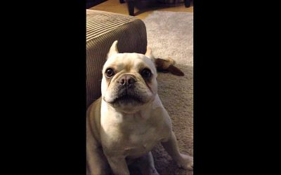 Mommy Asks Bulldog How His Day Was. He Answers With The Most Hysterical Hissy Fit.