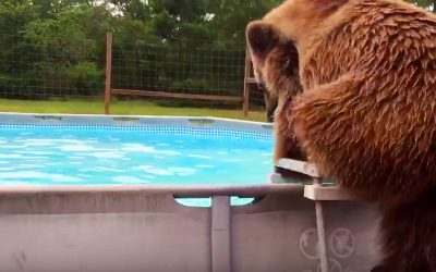 This Big Grizzly Bear Slowly Climbs Up The Pool Ladder. Now Watch His Hysterical Belly Flop.