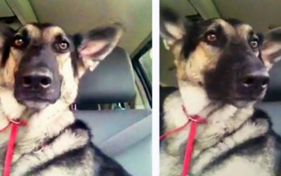 This Dog Loves Dancing To Her Favorite Song In The Car.